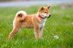 choisir-chien-japonais