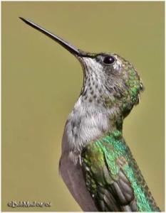 colibri-gorge-rubis-tete
