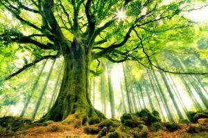 les_plus_beaux_arbres_du_monde_hetre_de_ponthus